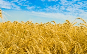 Wheat-Field-wallpaper_6918